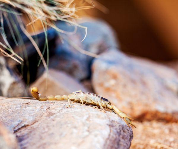 Giant Desert Hairy Scorpion (Hadrurus arizonensis) on stone