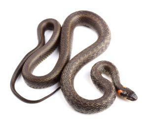 Grass Snake (Natrix Natrix) on white background