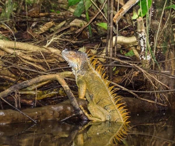 Green Iguana (Iguana Iguana) in Tortuguero National Park - Costa Rica