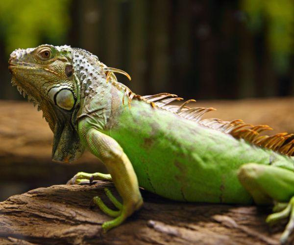 Green Iguana (Iguana Iguana) on tree branch