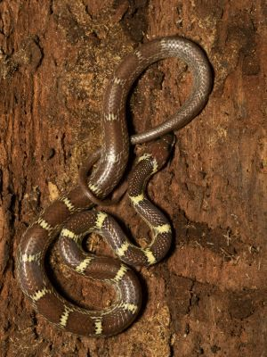 Indian Wolf Snake in Panna Tiger Reserve (Lycodon aulicus)