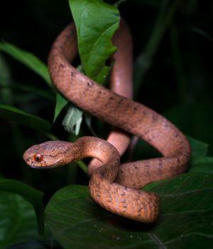 Keeled slug-eating snake (Pareas carinatus) - Kaeng Krachan National Park