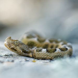 Noe-Horned Viper (Vipera ammodytes)