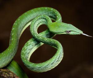 Oriental Whipsnake (Ahaetulla prasina )- Kaeng Krachan National Park