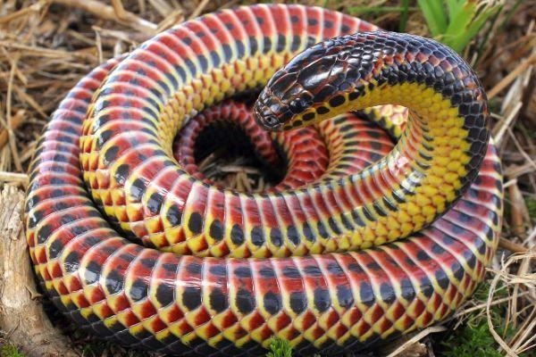 Rainbow snake curled up (Farancia erytrogramma)