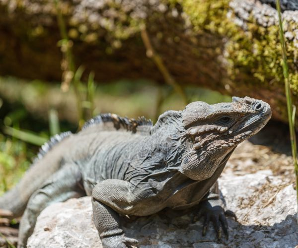 Rhinoceros Iguana ( Cyclura cornuta cornuta) on rock