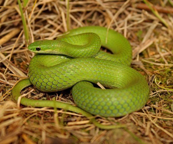 Smooth Green Snake (Opheodrys_vernalis)