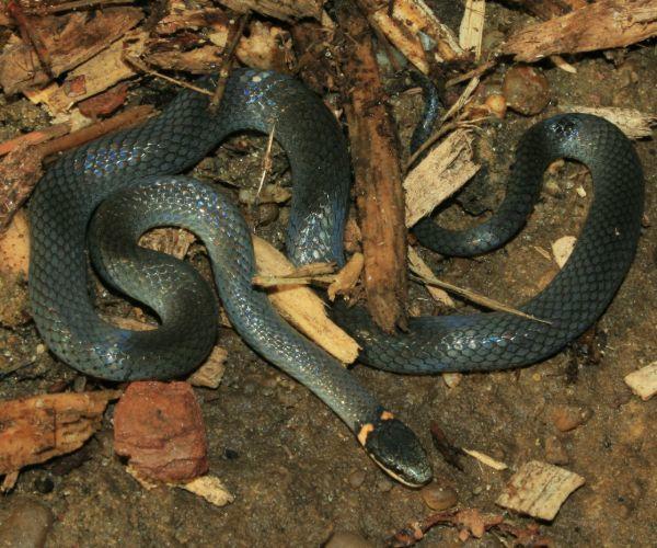 Southern Ringneck Snake (Diadophis punctatus) by John Brandauer