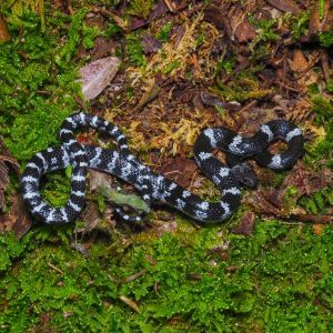 White-Banded Wolf Snake (Lycodon subcinctus) by CW Gan