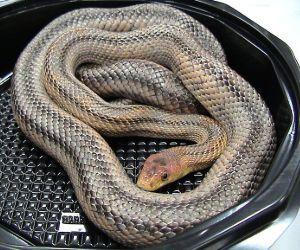 Baird's Rat Snake (Pantherophis bairdi)