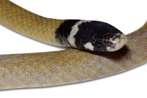 Big Bend Blackheaded Snake (Tantilla cucullata) by Ptexis