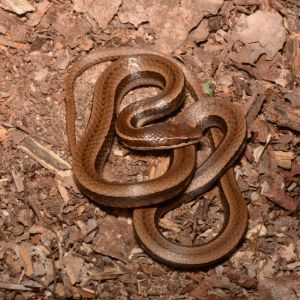 Black-striped Snake (Coniophanes imperialis) by Andrew DuBois