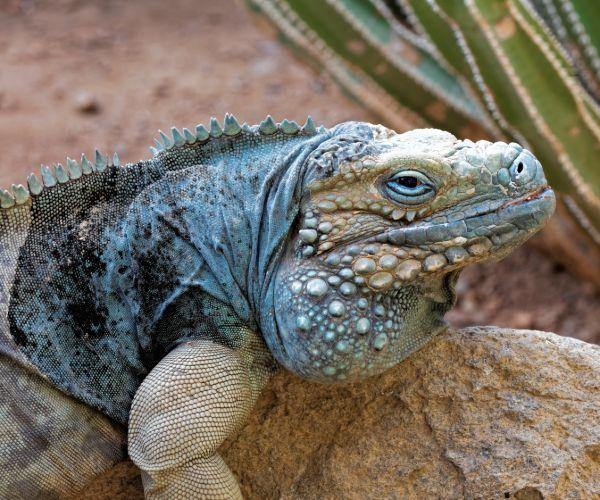 Blue Iguana (Cyclura lewisi) basking on rock in desert