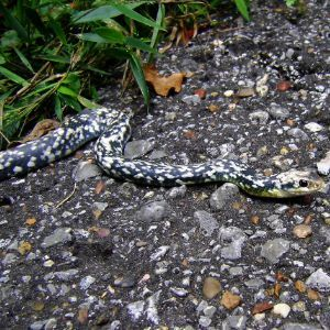 Buttermilk Racer (Coluber constrictor anthicus) at Jesse H. Jones Park & Nature Center, Humble, Texas by Patrick Feller