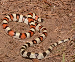 Central Plains Milk Snake (Lampropeltis triangulum gentilis) by Andrew DuBois