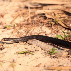 Gulf Crayfish Snake (Liodytes rigida sinicola)