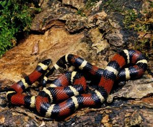 Mexican Milk Snake (Lampropeltis triangulum annulata)