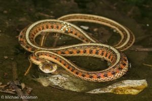 New Mexico Garter Snake (Thamnophis sirtalis dorsalis) by Michael Anderson