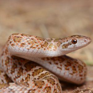 Painted Desert Glossy Snake (Arizona elegans phillipi) in Colorado by Andrew DuBois