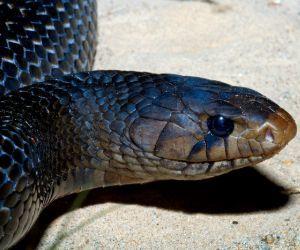 Texas Indefo Snake (Drymarchon melanurus erebennus)