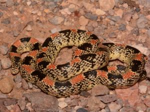 Texas Long-nosed Snake (Rhinocheilus lecontei tessellatus) by Andrew DuBois